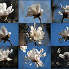 "03/03/11 - Star Magnolia X 9 or How Is a Girl Supposed to Pick?<br /> <br /> I had a date twice yesterday with this Star Magnolia blooming in my front yard.  It's right beside a Sasanqua Camellia with crimson red flowers.  What a contrast!  The first round was shot early afternoon, and the second round was shot late afternoon.  These blooms last just a few days before frost takes a toll or the squirrels decide to have a feast, so I make sure each year to get shots as close to them opening as I can.  <br /> <br /> My favorite is the center shot.  Large version is here:<br /> <br /> <a href=""http://fotomom.smugmug.com/Nature/March-2011/16046070_gZarf#1204272185_i8fRw"">http://fotomom.smugmug.com/Nature/March-2011/16046070_gZarf#1204272185_i8fRw</a><br /> <br /> Something about the moodiness of the shot and the blue and brown tones mixing and how it hides behind the branches just works for me.  Wasn't sure if you guys would like it as much as one of the more classic flower 'poses' though.<br /> <br /> Started raking the yard yesterday after work.  Joey, Madi, and Johnny 'helped'.  I would fill the wheel barrow, and then one or more of them would climb in for a ride down to the back of the yard to get dumped out:-)  Hysterical laughing...does a soul good.<br /> <br /> Every day this week has an extra appt. for something.  I am getting worn out trying to get all my real work done and all the stuff we usually do.  Come on weekend!<br /> <br /> Thanks for the comments on the Purple Field shot from yesterday.  I really enjoy finding those barn and taking pics and trying to bring out the beauty in them.  Special thanks to those that made it over to my Inspirations gallery to check out a few of my other pieces that I really like but just didn't make the dailies.<br /> <br /> HAGD,<br /> Maryann"