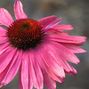 09/25/13 - Pink Beauty