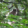 08/14/09 - I guess yesterday was meant to be my lucky day for an owl picture.  The last time I saw an owl in the woods was over 10 years ago, and it was a Barred owl.  Every evening for a week, he sat on a tree limb in my front yard.  I got a few low light and mostly lousy pics of him.  This time, it's a Spotted owl.  He swooped down and  I swooped up my camera and tripod. You should have seen how fast I got the camera mounted!  Luckily, although he moved from tree to tree a few times, I was able to get off several decent shots before he was gone.  It was so low light that I had to have the tripod!  Smiling today over this one.  Maybe I'll get to see him again sometime.  I hope so!<br /> <br /> Picture taking...  Sometimes it's the thrill of the catch.  Sometimes it's capturing the moment.  Sometimes it's a hint of creativity shining through.  Mostly, it's the delight they bring to those that look at them. <br /> <br /> I'm feeling sentimental and poetic I guess.  What I really mean is that these pictures mean even more to me when I have such a wonderful group of people to share them with.  Thank you.<br /> <br /> Late note:  This is a barred owl too!