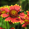 6/30/14 - Blanket Flower and Bee