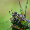 07/13/15 - Dragonfly Eating Earthworm