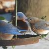 02/20/15 - Bluebird Feeding Frenzy
