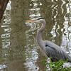 01/04/14 - Great Blue Heron