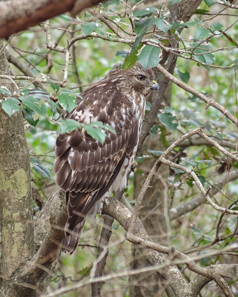 02/27/14 - Red Tailed Hawk