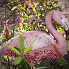 07/21/11 - The Flamingo<br /> <br /> Another shot from the Garden Hut on Saturday.  I added a vignette and decreased the greens in the shot which brought out the pink a bit more.  <br /> <br /> It's supposed to be 102 here today.  I am scurrying about with the sprinkler trying to keep the flowers happy.  Stay cool wherever you are!<br /> <br /> HAGD,<br /> Maryann<br /> <br /> I would love to have this in my yard but did not buy it.