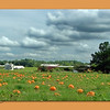 "09/27/11 - Pumpkin Patch<br /> <br /> My Blog:  <a href=""http://maryanng.blogspot.com/2011/09/pumpkin-patch.html"">http://maryanng.blogspot.com/2011/09/pumpkin-patch.html</a><br /> <br /> I think it's going to be tradition each fall to take a pumpkin patch photo. Several weeks ago, I realized that this field had pumpkins in it,  and I've been watching them develop ever since. Earlier this week, workers hauled about 30 pumpkins out of the field. I wanted to stop and get pics that day of the men and their teamwork to lift and move the heavy pumpkins, but it was extra cloudy and drizzling and I didn't stop because I didn't think I could get a quality shot. But, on the way home from school with the kids today , I decided that today was the day to try to get a shot. I took nearly every image as a bracketed series so I could use Photomatix on them. The shot I originally thought would 'the' one I ended up not liking as well as the one I posted as my daily.  I grew to really like the pine tree on the right of the daily photo shot and missed it not being in this image.<br /> <br /> <a href=""http://fotomom.smugmug.com/Nature/September-2011/18827553_CmnN58#1500049030_rzmP5tf"">http://fotomom.smugmug.com/Nature/September-2011/18827553_CmnN58#1500049030_rzmP5tf</a><br /> <br /> The crop today is 16X10.  I just liked the wider view without shooting a wide shot.  <br /> <br /> I hope you don't mind the humor in my daily photo;-)  Without the humor:<br /> <br /> <a href=""http://fotomom.smugmug.com/Nature/September-2011/18827553_CmnN58#1500051746_JCLSn5m"">http://fotomom.smugmug.com/Nature/September-2011/18827553_CmnN58#1500051746_JCLSn5m</a><br />   I feel like it's one of those childrens' books where you have to spot the difference.<br /> <br /> Here's a pano created from 3 images (well 9 total) that were tonemapped prior to pumping them through Microsoft ICE.<br /> <br /> <a href=""http://fotomom.smugmug.com/Nature/September-2011/18827553_CmnN58#1500050719_MR9bNjd"">http://fotomom.smugmug.com/Nature/September-2011/18827553_CmnN58#1500050719_MR9bNjd</a><br /> <br /> Do you have any pumpkin fields near you?  Will you be picking out the biggest, fattest, spookiest or best pie making pumpkin this year?  The kids and I will definitely be looking for just the right ones to carve.<br /> <br /> <a href=""http://fotomom.smugmug.com/Nature/September-2011/18827553_CmnN58#1500051229_RbsbH2G"">http://fotomom.smugmug.com/Nature/September-2011/18827553_CmnN58#1500051229_RbsbH2G</a><br /> <br /> Last year's shot:<br /> <br /> <a href=""http://fotomom.smugmug.com/Daily-Photos/My-Best-Daily-Shots/8520201_2XhdHz#1067316200_ki5S7"">http://fotomom.smugmug.com/Daily-Photos/My-Best-Daily-Shots/8520201_2XhdHz#1067316200_ki5S7</a><br /> <br /> They didn't plant pumpkins in this field this year so good thing I got this shot last year:-)<br /> <br /> Thank you for your comments on my black and white 'Back Shop' picture yesterday.  I did go ahead and enter it in the Dgrin Challenge.<br /> <br /> HAGD,<br /> Maryann<br /> <br /> The humor in the daily shot was added using a brush set (.abr file installed in PSE7) that I downloaded for free off the internet.  Set #2 on this page:<br /> <br /> <a href=""http://www.photoshopfreebrushes.com/1000-photoshop-free-brushes-for-your-halloween-designs/"">http://www.photoshopfreebrushes.com/1000-photoshop-free-brushes-for-your-halloween-designs/</a><br /> Also:<br /> <a href=""http://gwendrilla.deviantart.com/"">http://gwendrilla.deviantart.com/</a>"