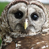 "05/10/11 - Nimue the Barred Owl  Another rescue bird from the <a href=""http://www.facebook.com/pages/Wildlife-Rescue-Center/55921209908"">Wildlife Rescue Center in Sanford</a> that we saw at <a href=""http://www.noahslanding2x2.com/"">Noah's Landing</a>  in Coats, NC on Sunday.  Last year I took pictures of Ophelia the Barred Owl, but this year Nimue was onsite instead.  LOVE those eyes!    Link to the Noah's Landing gallery:  http://fotomom.smugmug.com/Noahs-Landing/Noahs-Landing-050811/16970760_jTvbsT#1283151623_d2tLKHr  Thank you so much for your reception to the red-tailed hawk shot from yesterday.  It's such a privilege to get to see and take pics of the rescue birds.    If you missed the bluebird pics I posted on Facebook yesterday, you might want to check out these shots of a juvenile being fed by his mom and dad:  http://fotomom.smugmug.com/Nature/May-2011/16865229_xX2Jk5#1283721848_4V9ZGhF and:  http://fotomom.smugmug.com/Nature/May-2011/16865229_xX2Jk5#1283725809_gwTTKD7  HAGD, Maryann"