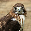 "05/09/11 - Wilow the Red-Tailed Hawk  The boys and I went to <a href=""http://www.noahslanding2x2.com/"">Noah's Landing</a>  in Coats, NC yesterday for their Mother's Day special event.  Along with the usual animals, the wonderful people with the <a href=""http://www.facebook.com/pages/Wildlife-Rescue-Center/55921209908"">Wildlife Rescue Center in Sanford</a> were there.  If I counted correctly, they had 8 birds onsite yesterday including this beautiful red-tailed hawk named Willow.  As usual, I spent quite a few minutes taking pictures of the birds and talking to the volunteers.    Link to the Noah's Landing gallery:  http://fotomom.smugmug.com/Noahs-Landing/Noahs-Landing-050811/16970760_jTvbsT#1283151623_d2tLKHr  If you missed the picture of Johnny with the ball python on Facebook, it's here:  http://fotomom.smugmug.com/Nature/May-2011/16865229_xX2Jk5#1283085882_92NPr6n   And with the tarantula:  http://fotomom.smugmug.com/Noahs-Landing/Noahs-Landing-050811/16970760_jTvbsT#1283142894_XdhQM4T  We did remind him not to pick up things in the yard that he doesn't know what they are like an inch worm.  He's not afraid, and he is curious.    Thanks for all the Mother's Day well wishes and for the comments on my iris picture.  HAGD, Maryann"