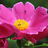 04/27/11 - Pink Peony with Ants<br /> <br /> This flower is growing in my yard.  It's not the very full triple style peonies I grew up with in the yard in NJ but still pretty.  Of course where you'll find a peony you'll find ants.  <br /> <br /> Cropped to 8X10 and fixed a few spots.  It's not far from sooc.<br /> <br /> I've started the process of cleaning and reorganizing the house and essentially doing a huge spring cleaning.  It's theraputic.<br /> <br /> HAGD,<br /> Maryann