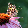 "06/09/10 - American Lady on Coneflower<br /> I stopped by the Yates Mill parking lot on my way home from work yesterday.  I'm not used to trying to capture butterflies in late day light, but I thought I'd give it a go.  I got some cool shots of bumblebees on the coneflower and even some shots of milkweed bug, and then finally I found a few butterflies to chase.  I've featured an American Lady several times before in my POTDs last spring and once this spring and often in my other galleries.  It's an easy favorite.  Today's framing up of the flower and butterfly is different than I've done it before.  It caught my eye how the light was coming through the butterflies wings in this particular shot.  <br /> <br /> I have edited the green background and cropped to 8X10.  If you want to see the original, it's here:<br /> <br /> <a href=""http://fotomom.smugmug.com/Nature/June-2010/12400102_x8pU2#894740028_YLGHv"">http://fotomom.smugmug.com/Nature/June-2010/12400102_x8pU2#894740028_YLGHv</a><br /> I don't usually pp butterfly shots, but I think it was the right thing to do in this case.<br /> <br /> The picture taking at work yesterday afternoon went fine.  Hopefully when I send them the link today they will be pleased.  <br /> <br /> Thanks for the time you invest each day to visit my POTD...<br /> <br /> HAGD,<br /> Maryann<br /> <br /> Not sure what I did to lose the xif information for this particular shot.  That was not intentional."