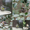 02/24/11- Yellow Rumped Warbler<br /> <br /> I am going to make an assumption that the bird in these shots is the same bird, but that's not necessarily true since the shots were taken over a period of several hours.  I've never seen two of this bird at a time.<br /> <br /> Imagine my delight one day when I saw that yellow rump(upper right) out my window.  What is that?!?  I've noticed this bird for several weeks now.  He and the sole, that I notice, Pine Warbler (much more yellow) take turns showing up amongst the pine sisken and goldfinch.  That's about the size of this guy (well, it might be a girl;;  this time I'm not sure).<br /> <br /> Wikipedia says this guy likes insects and some berries.  At my house he's eating suet and sunflower hearts.  I guess there aren't many insects right now and he's not being picky.<br /> <br /> At any rate, I thought you might enjoy the many poses and cute yellow spots of this guy today.  He makes me smile when I see him.<br /> <br /> Joey was thrilled with your comments on his shot yesterday.  I saved a screenshot for him of when his shot was higher on the dailies than mine.  He was beaming.  Thanks for the comments on my flamingo shot too.<br /> <br /> HAGD,<br /> Maryann