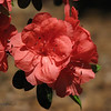 04/19/10 - Beautiful Azaleas<br /> The boys and I have been sitting in the courtyard of the rehab/nursing home facility a lot over the weekend.  Right now, there are about 10 beautiful azaleas blooming with this flower/color.  Very pretty.  I couldn't help but take a few shots. Lots of cardinals out there and small bird feeders in front of resident windows that line the courtyard.  A good place where little boys can enjoy moving around and visiting their Poppop at the same time.<br /> <br /> I am still in Monroe.  I hope to head to Raleigh after lunch.  A few more things to do this morning including talk to docs and go to bank.  I'm going to try to spring Dad outta there for a short ride.  He continues to be doing great in the AM but fade in the PM.  He is desperate to leave at this point, but not ready.  I feel for him, and I'm trying to let the rehab people take the heat for that.<br /> <br /> Dad's house is kindof in a time warp from 1985 when my mother had her car accident and especially after she went in the nursing home about 7 years ago.  I have done some serious cleaning while I've been here including yesterday clearing out one side of the garage so we could get Dad's car inside.  I was so proud, and then his car wouldn't start.  Short story is got a new battery after some help from a neighbor, and then I did get it washed and put in the garage OK.  Anyway...  Just nonstop this weekend.<br /> <br /> Hope you all are doing well...<br /> HAGD,<br /> Maryann