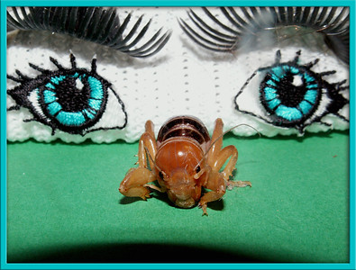 """June 14  """"I can see you!""""  On May 17, I was working at my computer, and started hearing some little scratching noise coming from the far corner.  I was thinking it was a mouse which I was going to be bothered by having to do something about it!  Long story shorter, I finally found this potato bug inbetween some of my big sheets of scrapbooking papers. I gathered him up and was about to toss him out the window, when the thought came to me that since I was working on Smug Mug, he would be a great DP, for either that night, or save him for a night when I needed a shot to upload. I set him on my desk and right beyond him was this pair of eyes staring at him. I moved the eyes a touch closer for better comp!  There is a story that goes along with these beautiful eyes!  I'll save that for another DP!  P.S. I learned from this little photo session that these little creatures 'play dead'! Except for the little windshield wiper type thing by his eye, on the right side....those still move as he's imitating a dead bug!"""