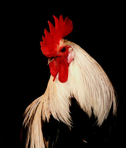 """June 1   The Champion    I'll begin creating a new gallery tomorrow morning!   Not quite sure what title to give the gallery; """"Proud and Propitious Poultry""""?!"""