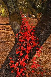 October 27     OK!  Here's my version of 'Fall Colors'.    Have to really keep a lookout for such, here in the Central Coastal area of California. The bright and colorful Fall foilage is not plentiful!   This IS Poison Oak; Nasty but Beautiful !
