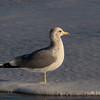 3.28.11<br /> <br /> California gull