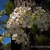 3.7.11<br /> <br /> Flowering Pear...