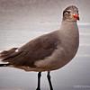 9.22.2011<br /> <br /> California gull<br /> <br /> Huntington Beach, CA