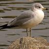 1.19.11<br /> <br /> California Gull<br /> Tri City Park, Placentia, CA