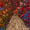 12.19.11<br /> <br /> liquid amber tree