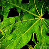 Japanese Aralia leaf...<br /> <br /> Caught this outside our front door, loved the raindrops and sunlight on the leaf  : )<br /> <br /> Critiques welcome...<br /> <br /> January 15, 2013