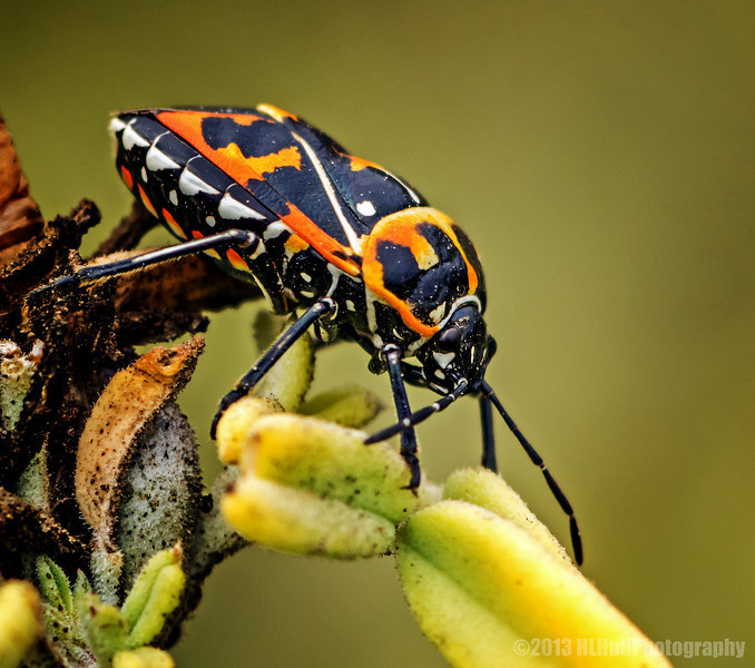 """H"" is for Harlequin bug (Murgantia histrionica),<br /> for Donna's Alphabet Challenge...<br /> <br /> The harlequin cabbage bug (Murgantia histrionica), also known as calico bug, fire bug or harlequin bug, is a black stinkbug of the family Pentatomidae, brilliantly marked with red, orange and yellow. It is destructive to cabbage and related plants in tropical America as well as throughout most of North America, especially the warmer parts of the United States. In addition to cabbage it can be a major pest to crops such as broccoli, radishes and the ornamental flower cleome. <a href=""http://en.wikipedia.org/wiki/Harlequin_cabbage_bug"">http://en.wikipedia.org/wiki/Harlequin_cabbage_bug</a><br /> <br /> Bolsa Chica Wetlands<br /> Huntington Beach, CA<br /> <br /> Thanks for taking time to comment, much appreciated!<br /> <br /> Critiques welcome...<br /> <br /> You will keep in perfect peace all who trust in you, all whose thoughts are fixed on you! Isaiah 26:3 NLT <a href=""http://www.biblegateway.com"">http://www.biblegateway.com</a><br /> <br /> 1 September 2013"