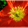Iceland poppy...<br /> <br /> Thanks for commenting!<br /> <br /> Critiques welcome...<br /> <br /> March 16, 2013