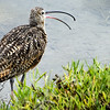 """Long-billed Curlew...<br /> same bird as yesterdays' post, just a little different pose : )  <a href=""""http://smu.gs/15Sj5mV"""">http://smu.gs/15Sj5mV</a><br /> <br /> Bolsa Chica Wetlands<br /> Huntington Beach, CA<br /> <br /> The Long-billed Curlew is the largest nesting or regularly occurring sandpiper in North America. It is 50–65 cm (20–26 in) long, 62–90 cm (24–35 in) across the wing and weighs 490–950 g (1.1–2.1 lb) Its disproportinally long bill measures 11.3–21.9 cm (4.4–8.6 in), and rivals the bill of the larger-bodied Far Eastern Curlew as the longest bill of any shorebird <a href=""""https://en.wikipedia.org/wiki/Long-billed_Curlew"""">https://en.wikipedia.org/wiki/Long-billed_Curlew</a><br /> <br /> Thank you for your comments!<br /> <br /> Critiques welcome...<br /> <br /> QUESTION for all of you who've switched to the new SM. Wondering the best way to find fellow Smuggers when there isn't a link with the comment? Please reply in comments or email me at hlhull2@gmail.com. Thank you!<br /> <br /> 17 August 2013"""