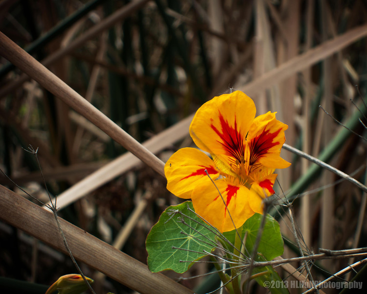a lonely nasturtium...<br /> <br /> Andree Clark Bird Refuge<br /> Santa Barbara, CA<br /> <br /> Thank you for your comments!<br /> <br /> Critiques welcome...<br /> <br /> March 19, 2013