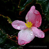 Begonia bloom<br /> <br /> I liked the raindrops on this lone begonia, best viewed in larger sizes...<br /> <br /> Critiques welcome...<br /> <br /> January 4, 2013