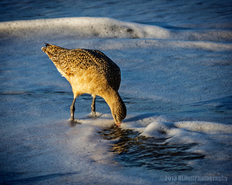 """Sandpiper...<br /> <br /> East Beach<br /> Santa Barbara, CA<br /> <br /> Sandpipers are a large family, Scolopacidae, of waders or shorebirds. They include many species called sandpipers, as well as those called by names such as curlew and snipe. The majority of these species eat small invertebrates picked out of the mud or soil. Different lengths of bills enable different species to feed in the same habitat, particularly on the coast, without direct competition for food.<br /> Sandpipers have long bodies and legs, and narrow wings. Most species have a narrow bill, but otherwise the form and length are quite variable. They are small to medium sized birds, measuring 12–66 cm (4.7–26 in) cm in length. The bills are sensitive, allowing the birds to feel the mud and sand as they probe for food. They generally have dull plumage, with cryptic brown, grey, or streaked patterns, although some display brighter colours during the breeding season. <a href=""""http://en.wikipedia.org/wiki/Sandpiper"""">http://en.wikipedia.org/wiki/Sandpiper</a><br /> <br /> Thanks for your comments!<br /> <br /> Critiques welcome...<br /> <br /> April 9, 2013<br /> <br /> Update: Several of you wondered what yesterdays' post """"tangled"""" was. It's seaweed,  washed up onto the beach by the waves. Sorry for the confusion : )"""