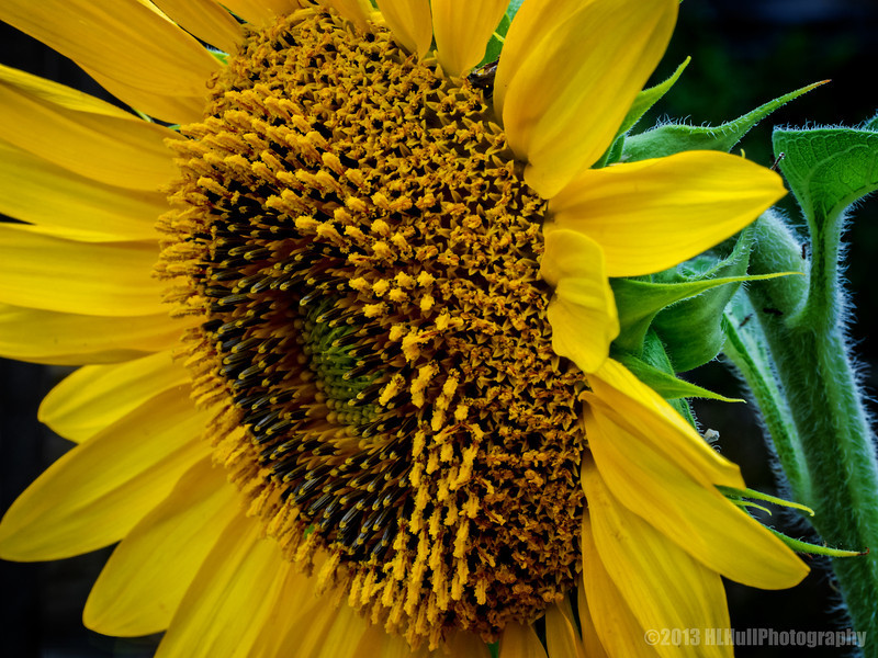 """It's sunflower time...<br /> <br /> Another view of yesterday's sunflower post. It's here if you missed it: <a href=""""http://smu.gs/19R9S5R"""">http://smu.gs/19R9S5R</a> <br /> <br /> Thanks for your comments!<br /> <br /> Critiques welcome...<br /> <br /> 9 August 2013"""