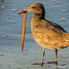 Brown seagull...<br /> <br /> East Beach<br /> Santa Barbara, CA<br /> <br /> Thank you for your comments!<br /> <br /> Critiques welcome...<br /> <br /> April 4, 2013<br /> <br /> Update: I believe this may be an immature gull, hence the brown color...