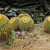 Golden Barrel Cactus...<br /> <br /> Fullerton Arboretum<br /> Fullerton, CA<br /> <br /> Thank you for your comments!<br /> <br /> Critiques welcome...<br /> <br /> 6 July 2013