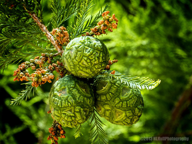 "Pond cypress cones (Taxodium ascendens)...<br /> <br /> Seeds are held inside a round cone that is about ¾"" to 1"" in diameter. The cones are wrinkled, green, and leathery. Upon maturity they become woody. The shield-shaped scales fit closely together before the cone disintegrates. More info here:<br /> <a href=""http://www.sfrc.ufl.edu/extension/4h/ecosystems/_plants/Pond_cypress/"">http://www.sfrc.ufl.edu/extension/4h/ecosystems/_plants/Pond_cypress/</a><br /> <br /> Fullerton Arboretum<br /> Fullerton, CA<br /> <br /> Thank you for your comments!<br /> <br /> Critiques welcome...<br /> <br /> 31 July 2013"