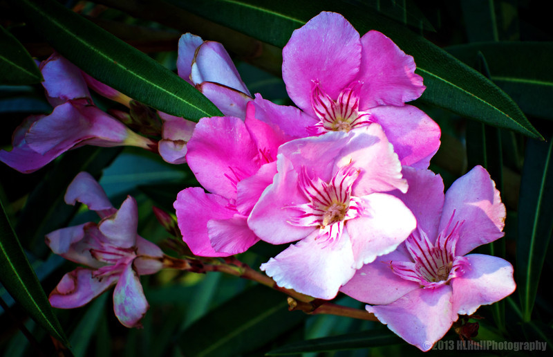 """P"" is for Pink Oleander,<br /> for Donna's Alphabet Challenge...and Breast Cancer Awareness Month...<br /> <br /> Nerium oleander /ˈnɪəriəm ˈoʊliː.ændər/[2] is an evergreen shrub or small tree in the dogbane family Apocynaceae, toxic in all its parts. It is the only species currently classified in the genus Nerium. It is most commonly known as oleander, from its superficial resemblance to the unrelated olive Olea. <a href=""http://en.wikipedia.org/wiki/Nerium"">http://en.wikipedia.org/wiki/Nerium</a><br /> <br /> Thanks for your comments on my sunflower post yesterday!<br /> <br /> Critiques welcome...<br /> <br /> Don't brag about tomorrow, since you don't know what the day will bring. Proverbs 27:1 NLT <a href=""http://www.biblegateway.com"">http://www.biblegateway.com</a><br /> <br /> 27 October 2013"