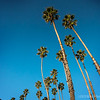 """Fan Palms, a very recognizable icon along East Beach...<br /> <br /> Washingtonia robusta (Mexican Fan Palm or Mexican Washingtonia) is a palm tree native to western Sonora and Baja California Sur in northwestern Mexico. It grows to 82 ft tall, rarely up 98 ft. The leaves have a petiole up to 3.3 ft long, and a palmate fan of leaflets up to 3.28 ft long. The inflorescence is up to 9.8 ft long, with numerous small pale orange-pink flowers. The fruit is a spherical, blue-black drupe, 0.24–0.31 in diameter; it is edible, though thin-fleshed.  <a href=""""http://en.wikipedia.org/wiki/Washingtonia_robusta"""">http://en.wikipedia.org/wiki/Washingtonia_robusta</a><br /> <br /> East Beach<br /> Santa Barbara, CA<br /> <br /> Thanks for your comments!<br /> <br /> Critiques welcome...<br /> <br /> April 5, 2013"""