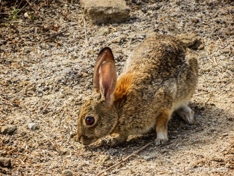 jack rabbit...<br /> <br /> Fullerton Arboretum<br /> Fullerton, CA<br /> <br /> Thanks for your comments!<br /> <br /> Critiques welcome...<br /> <br /> 24 July 2013