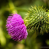 "thistle...<br /> <br /> Huntington Central Park<br /> Huntington Beach, CA<br /> <br /> Thank you all for your overwhelming response to and support of my ""D is for dowels"" post yesterday, here: <a href=""http://smu.gs/11Hy59N"">http://smu.gs/11Hy59N</a> , much appreciated! Thanks again, Donna  , for the great idea! <a href=""http://mccommon.smugmug.com/"">http://mccommon.smugmug.com/</a><br /> <br /> Critiques welcome...<br /> <br /> 5 August 2013"