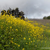 """mustard wildflowers...<br /> <br /> Mustard plant are any of several plant species in the genera Brassica and Sinapis. Mustard seed is used as a spice. Grinding and mixing the seeds with water, vinegar or other liquids, creates the yellow condiment known as mustard. <a href=""""http://en.wikipedia.org/wiki/Mustard_plant"""">http://en.wikipedia.org/wiki/Mustard_plant</a><br /> <br /> Powder Canyon<br /> Rowland Heights, CA<br /> <br /> Thanks for your comments!<br /> <br /> Critiques welcome...<br /> <br /> May 3, 2013"""