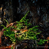 """Redwood Bark...<br /> <br /> I liked the light and greenery at the base of this redwood tree...<br /> <br /> Central Park<br /> Whittier, CA<br /> <br /> No, O people, the Lord has told you what is good,<br />     and this is what he requires of you:<br /> to do what is right, to love mercy,<br />     and to walk humbly with your God. Micah 6:8  NLT   <a href=""""http://www.biblegateway.com"""">http://www.biblegateway.com</a><br /> <br /> Thank you for your views and comments this last week, have a great Sunday!<br /> <br /> Critiques welcome...<br /> <br /> January 6, 2013"""