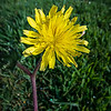 """Common Dandelion...<br /> <br /> While many people think of the dandelion (Taraxacum officinale) as a pesky weed, it's chock full of vitamins A, B, C, and D, as well as minerals such as iron, potassium, and zinc. Dandelion leaves are used to add flavor to salads, sandwiches, and teas. The roots are used in some coffee substitutes, and the flowers are used to make wines.<br /> <br /> Hundreds of species of dandelion grow in the temperate regions of Europe, Asia, and North America. Dandelion is a hardy perennial that can grow to a height of nearly 12 inches. The plants have deeply notched, toothy, spatula-like leaves that are shiny and hairless. Dandelion stems are capped by bright yellow flowers. The grooved leaves funnel rain to the root.  <a href=""""http://umm.edu/health/medical/altmed/herb/dandelion"""">http://umm.edu/health/medical/altmed/herb/dandelion</a><br /> <br /> Thank you for your comments!<br /> <br /> Critiques welcome...<br /> <br /> 30 August 2013"""