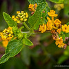 Yellow Lantana...<br /> <br /> Much appreciate your views and comments, thanks! Critiques welcome...<br /> <br /> 29 August 2014