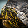 "Red-eared slider...<br /> <br /> Red-eared sliders get their name from the small red dash around their ears. The ""slider"" part of their name comes from their ability to slide off rocks and logs and into the water quickly. This species was previously known as Troost's turtle in honor of an American herpetologist; Trachemys scripta troostii is now the scientific name for another subspecies, the Cumberland slider. <a href=""http://en.wikipedia.org/wiki/Red-eared_slider"">http://en.wikipedia.org/wiki/Red-eared_slider</a><br /> <br /> Laguna Lake Park<br /> Fullerton, CA<br /> <br /> Thank you for your comments, much appreciated! <br /> <br /> Critiques welcome...<br /> <br /> 26 March 2014"