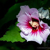 """Rose of Sharon...<br /> <br /> Rose of Sharon is a common name that applies to several different species of flowering plants that are highly valued throughout the world. The name's colloquial application has been used as an example of the lack of precision of common names, which potentially causes confusion. """"Rose of Sharon"""" has also become a frequently used catch phrase in lyrics and verse. <a href=""""http://en.wikipedia.org/wiki/Rose_of_Sharon"""">http://en.wikipedia.org/wiki/Rose_of_Sharon</a><br /> <br /> Fullerton Arboretum<br /> Fullerton, CA <a href=""""http://fullertonarboretum.org/home.php"""">http://fullertonarboretum.org/home.php</a><br /> <br /> Thanks for your views and comments!<br /> <br /> Critiques welcome...<br /> <br /> 23 June 2014"""