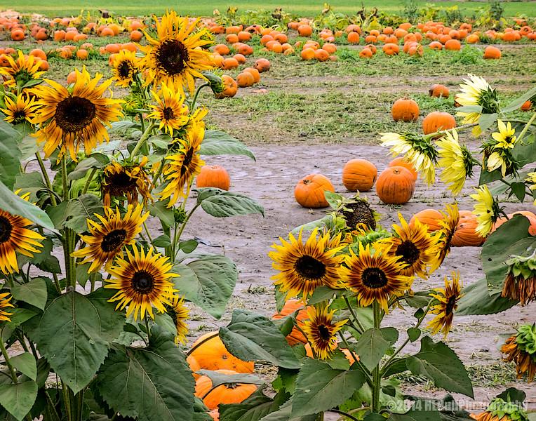 Sunflowers and Pumpkins...