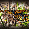 "Monarch Butterflies,<br /> Goleta Butterfly Grove...<br /> <a href=""http://www.goletabutterflygrove.com"">http://www.goletabutterflygrove.com</a><br /> <br /> Not the clearest shot of these monarchs but I liked the sunlight on the wings...<br /> <br /> 18 March 2014"