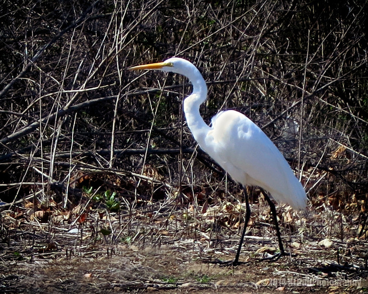 Great Egret, close up of yesterdays' shot...<br /> <br /> Peters Canyon Regional Park<br /> Orange, CA<br /> <br /> Thanks for viewing and commenting!<br /> <br /> Critiques welcome...<br /> <br /> 12 April 2014
