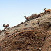 "Big Horn Sheep...<br /> <br /> Whitewater Preserve<br /> Whitewater, CA<br /> <br /> <a href=""http://www.wildlandsconservancy.org/preserve_whitewater.html"">http://www.wildlandsconservancy.org/preserve_whitewater.html</a><br /> <br /> I took this shot in the same general area as yesterday's post. I zoomed in as far as I could, these guys were a long way off! A gentlemen with binoculars pointed them out to me and even then, I had a hard time finding them in my viewfinder! I never thought I'd see these beautiful animals outside of the zoo! Wish I could have gotten closer, maybe next time...<br /> <br /> The bighorn sheep is a species of sheep in North America named for its large horns. These horns can weigh up to 30 lb, while the sheep themselves weigh up to 300 lb. <a href=""http://en.wikipedia.org/wiki/Bighorn_sheep"">http://en.wikipedia.org/wiki/Bighorn_sheep</a><br /> <br /> Thanks you for viewing and commenting!<br /> <br /> Critiques welcome...<br /> <br /> 21 January 2014"