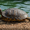 "Red-eared slider,<br /> enjoying the morning sun...<br /> <br /> Red-eared sliders get their name from the small red dash around their ears. The ""slider"" part of their name comes from their ability to slide off rocks and logs and into the water quickly. This species was previously known as Troost's turtle in honor of an American herpetologist; Trachemys scripta troostii is now the scientific name for another subspecies, the Cumberland slider. <a href=""http://en.wikipedia.org/wiki/Red-eared_slider"">http://en.wikipedia.org/wiki/Red-eared_slider</a><br /> <br /> Laguna Lake Park<br /> Fullerton, CA<br /> <br /> Thank you for your comments, much appreciated! <br /> <br /> Critiques welcome...<br /> <br /> 25 March 2014"